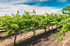 Grapevines in Barossa valley Stock Photo