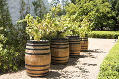 Grapevines in Barrels royalty free stock photo