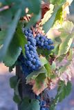 Grapevines with blue ripe grapes Royalty Free Stock Images
