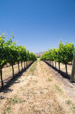 Grapevines in California drought Royalty Free Stock Photo