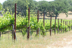 Grapevines in California Stock Photography
