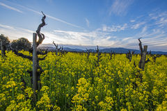 Grapevines in California wine country. Old-fashioned vineyard, without wires, in California wine country, midst mustard cover crop Royalty Free Stock Photos