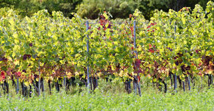 Grapevines with colourful foliage Royalty Free Stock Images