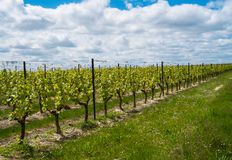 Grapevines Royalty Free Stock Images