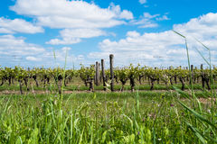 Grapevines Royalty Free Stock Photography