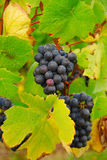 Grapevines in fall Royalty Free Stock Photography