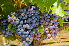 Grapevines Royalty Free Stock Image