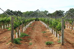 Grapevines. Grapevine cultivation in the countryside of Western Australia Stock Photo