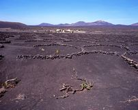 Grapevines, Lanzarote. Royalty Free Stock Photo