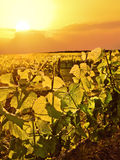 Grapevines lit up by golden light of the sun in vineyard. A beautiful golden sunset on illuminated grapevines in vineyard stock photos