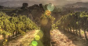 Grapevines in Morning Sunlight stock footage