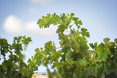 Grapevines near Montemassi Stock Photography