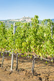 Grapevines near Montemassi Royalty Free Stock Images