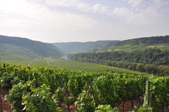 Grapevines near mosel river, germany Stock Photos