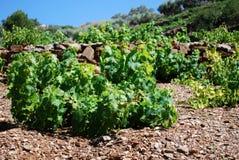 Grapevines near Torrox. Stock Photo