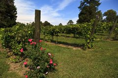 Grapevines in North Carolina in the Yadkin Valley Area. Grapevines at Weathervane Winery in Lexington, North Carolina royalty free stock images
