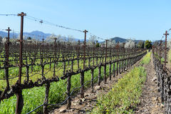 Grapevines in a Row Royalty Free Stock Photos