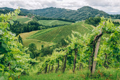 Grapevines in Southern Styria Royalty Free Stock Images