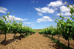Grapevines in the spring. Planted field of grapevines in the Spring Stock Images