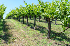 Grapevines in the Spring Stock Photos