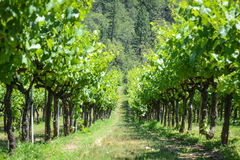 Grapevines in Spring Royalty Free Stock Image