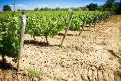 Grapevines in spring Stock Image