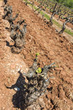 Grapevines sprouting new season growth Stock Photo