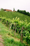 Grapevines in Styria Stock Photography