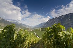 Grapevines on the slopes of Rhone valley in Valais, Switzerland Royalty Free Stock Photography