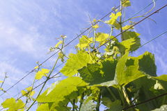 Grapevines on a Support Wire Royalty Free Stock Photography