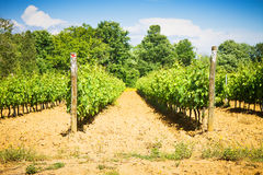 Grapevines in tuscany countryside Stock Photography