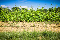 Grapevines in tuscany countryside Stock Photo