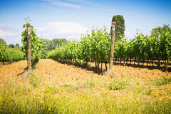 Grapevines in tuscany countryside Royalty Free Stock Photography