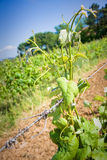 Grapevines in tuscany countryside Royalty Free Stock Image