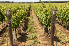 Grapevines in Tuscany Royalty Free Stock Photography