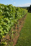 Grapevines in a vineyard Royalty Free Stock Photos