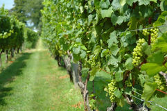Grapevines in a Vineyard. Rows of green grapes in a vineyard Royalty Free Stock Photography