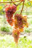Grapevines in vineyard. Czech Republic Stock Photos