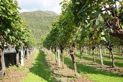 Grapevines in vineyard Stock Photography