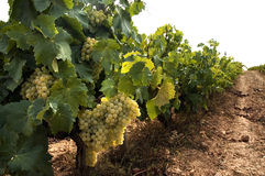 Grapevines in vineyard. Clusters of grapes on grapevine in vineyard royalty free stock photo