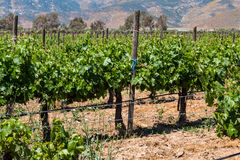 Grapevines at a Vineyard in the City of Ensenada, Mexico Royalty Free Stock Photography