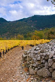 Grapevines in a vineyards. By a rock wall Stock Photography