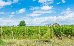 Grapevines and winery Stock Photography