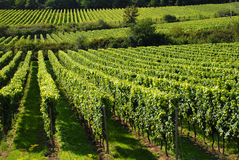 Grapevines in a wineyard stock image