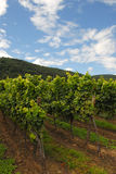 Grapevines in a wineyard Royalty Free Stock Image