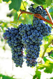 Grapewine Royalty Free Stock Images
