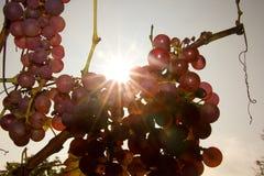 Grapewine ausführlich Stockfotografie