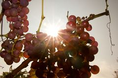 Grapewine in the detail Stock Photography