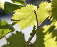 Grapewine fleurissant au printemps Images stock