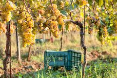 Grapeyard with plastic harvest box for grape. Ggreen valley with wineyards stock images